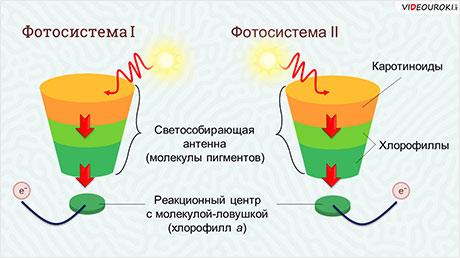 Понятие фотосинтеза. Фотосинтетические пигменты