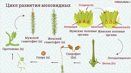 Размножение мохообразных и папоротникообразных растений