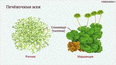 Высшие растения. Отдел Мохообразные