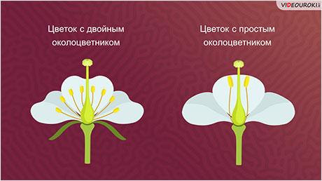 Отдел Покрытосеменные, или Цветковые