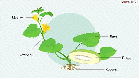 Органы растений. Корень. Видоизменения корней